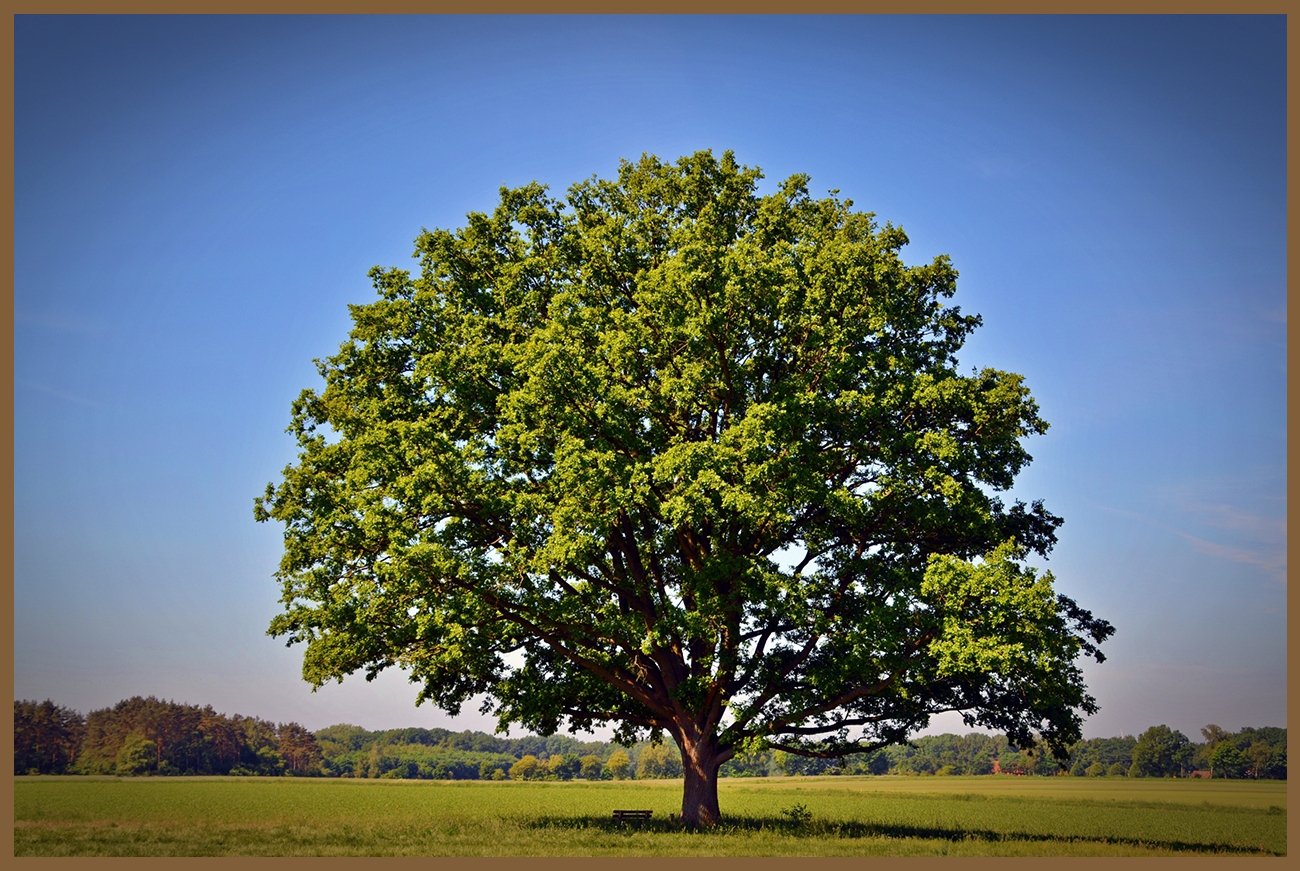 オークの木の画像
